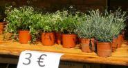 L'euphorbe, une belle plante mise en avant par la Société d'horticulture de Soissons