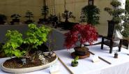 Quelques-uns des bonsaïs présentés ce jour-là
