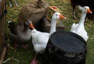 Les oies aussi étaient à la ferme